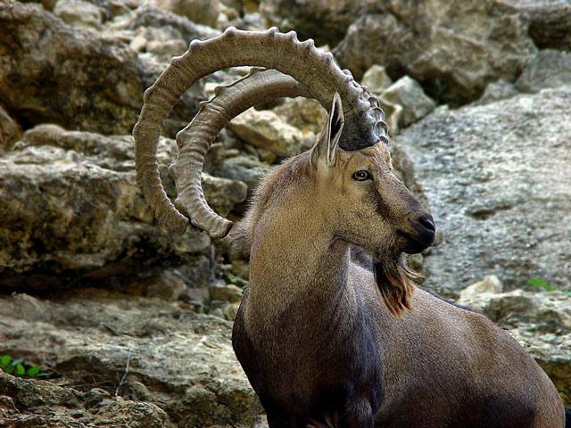 Ibex Goat Ibex Goat