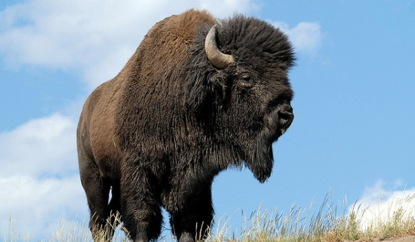 Wild_Bison_