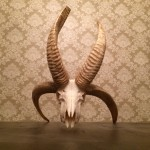 4 Horn Ram Skull / No Plaque
