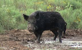 boar hunting in South Texas