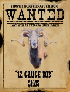 trophy Corsican ram hunt in South Texas
