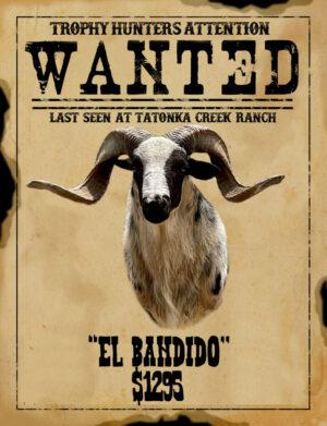 trophy painted desert ram hunt in south Texas