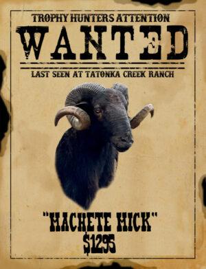 black Hawaiian ram hunt in south Texas