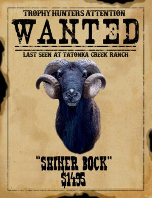 trophy black Hawaiian ram hunt in South Texas